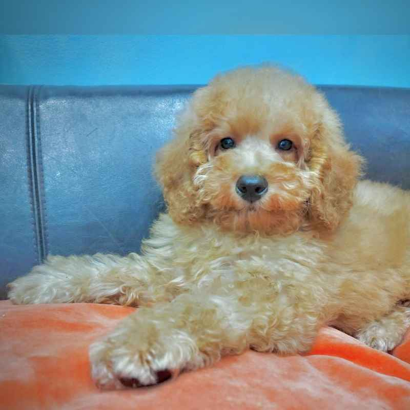 toy poodle puppy for sale in dubai