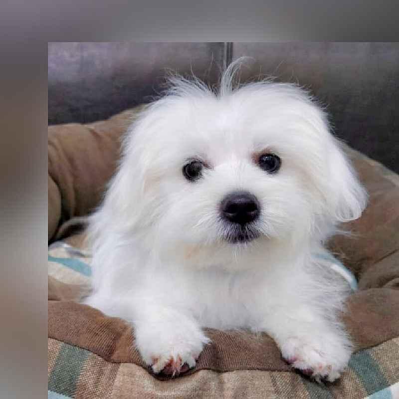 maltese puppy for sale in abu dhabi dubai uae