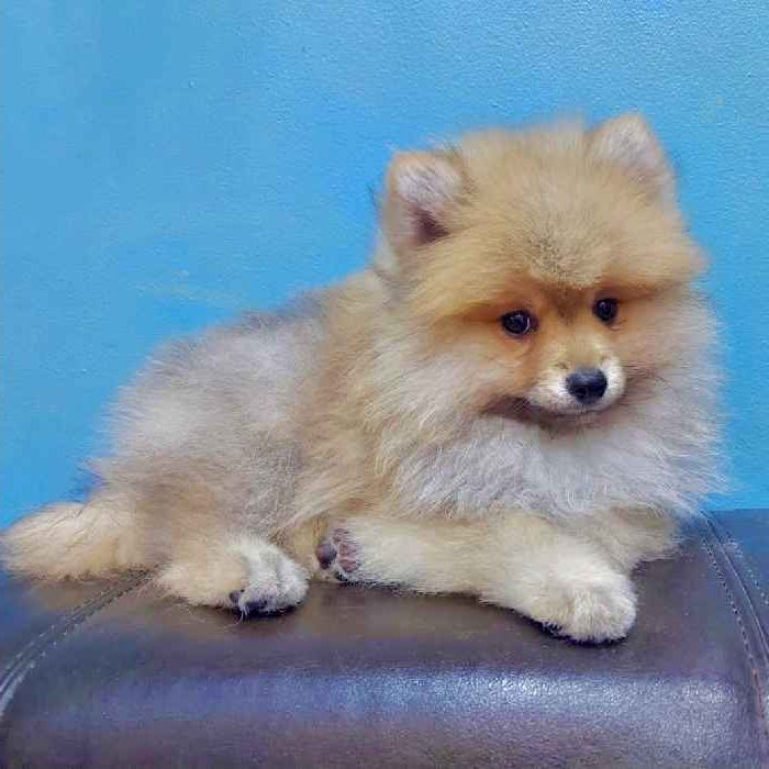 mini pomeranian puppy for sale in dubai abu dhabi uae