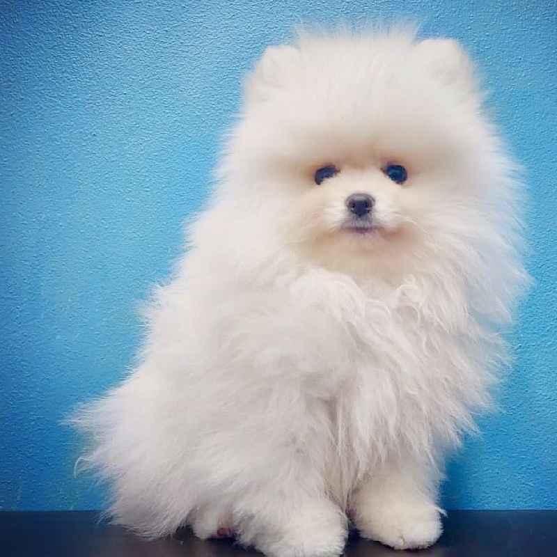 tcup pomeranian puppy for sale in dubai abu dhabi uae