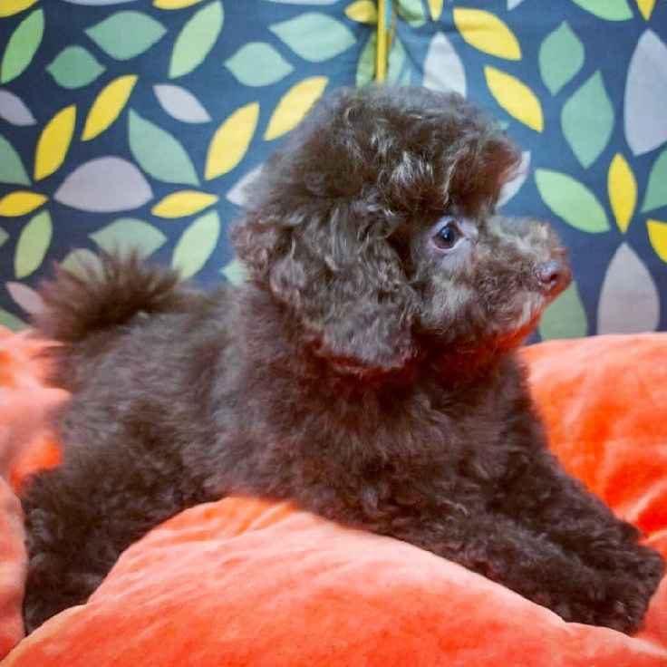 chocolate toy poodle puppy for sale in dubai uae abu dhabi