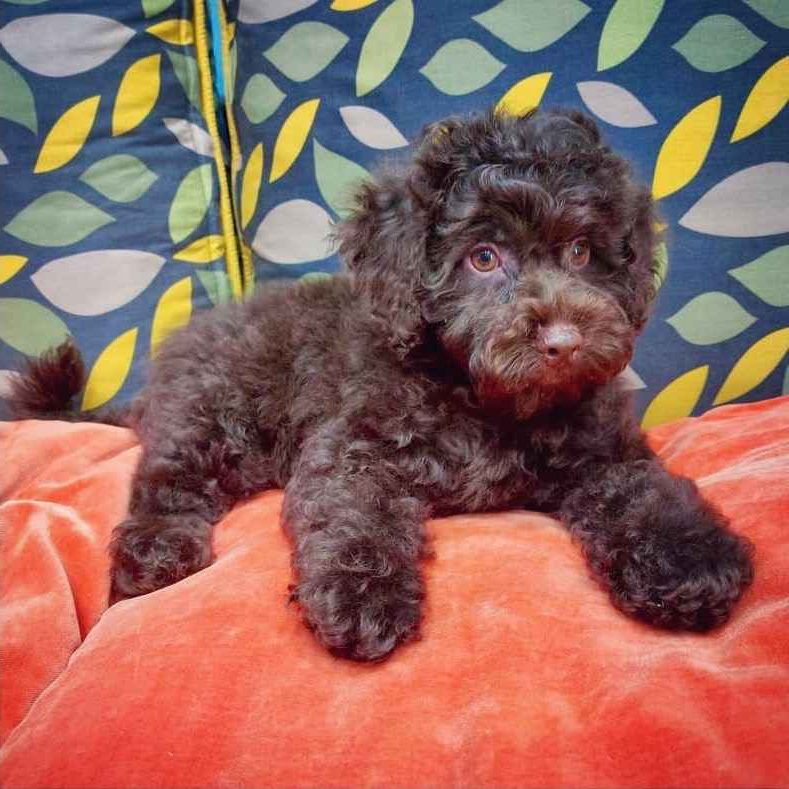 chocolate toy poodle puppy for sale in uae