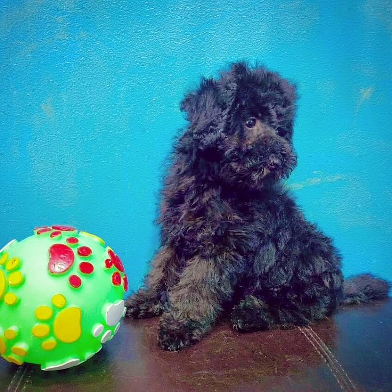 toy poodle puppy for sale in abu dhabi