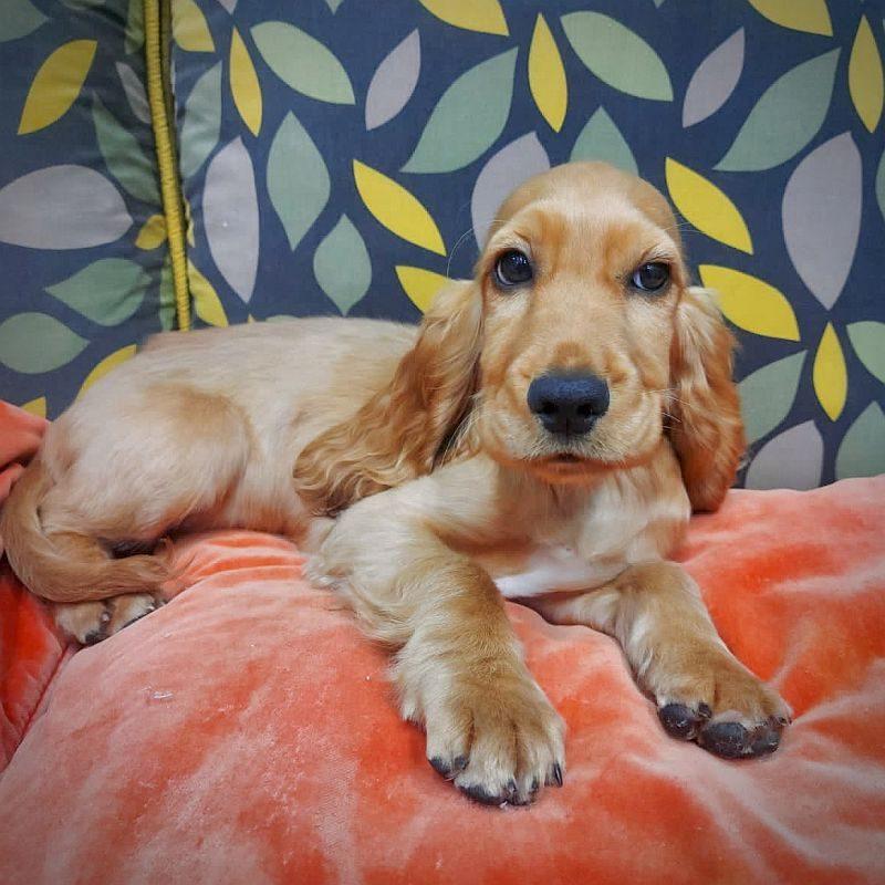 cocker spaniel puppy for sale in dubai uae abu dhabi