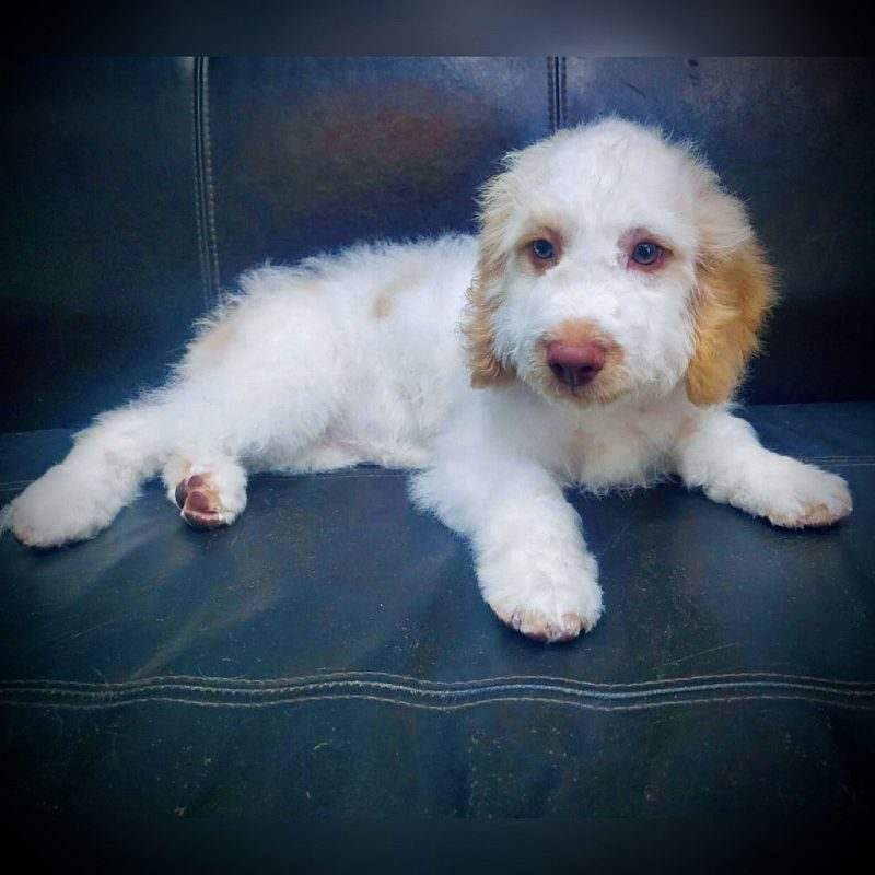 golden doodle puppy for sale in dubai uae