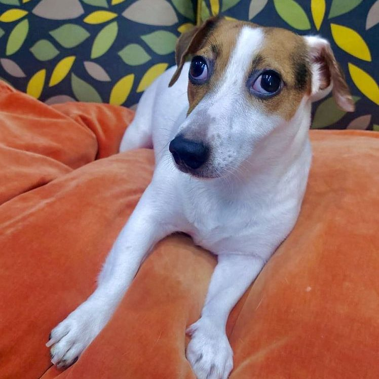 jack russell puppy for sale in dubai ae