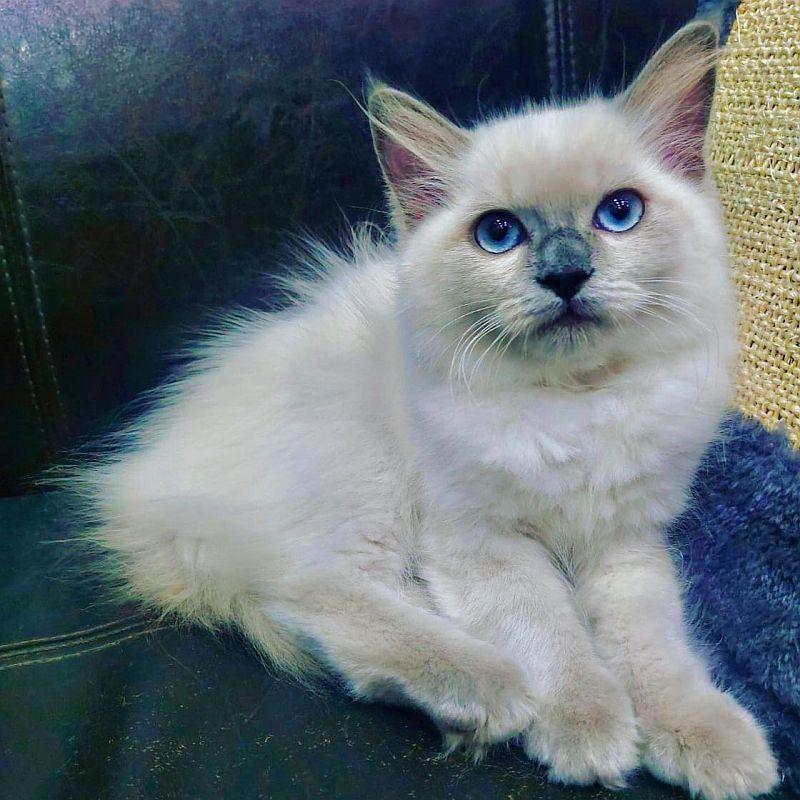 ragdoll kitten for sale in dubai